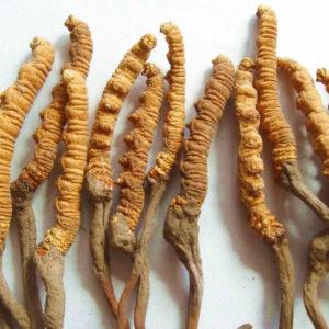 Health Benefits of Cordyceps-Sinensis