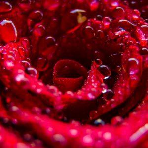 Psoriasis_Rose