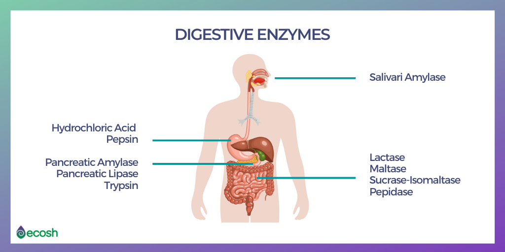 Digestive_Enzymes_function