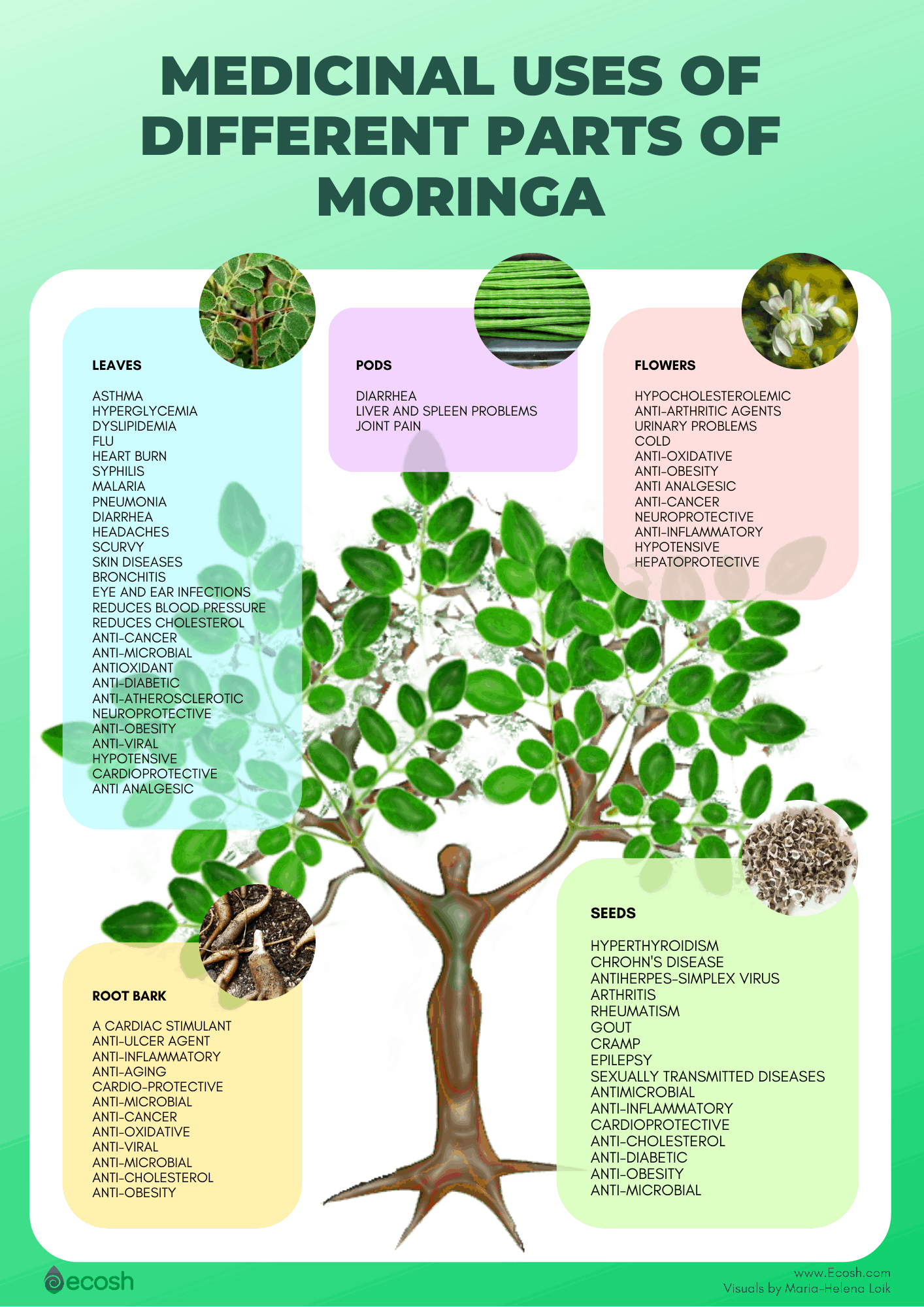 Ecosh_Medical_Uses_Of_Moringa_Oleifera_Moringa_Benefits_Moringa_Oleifera_Health_Benefits
