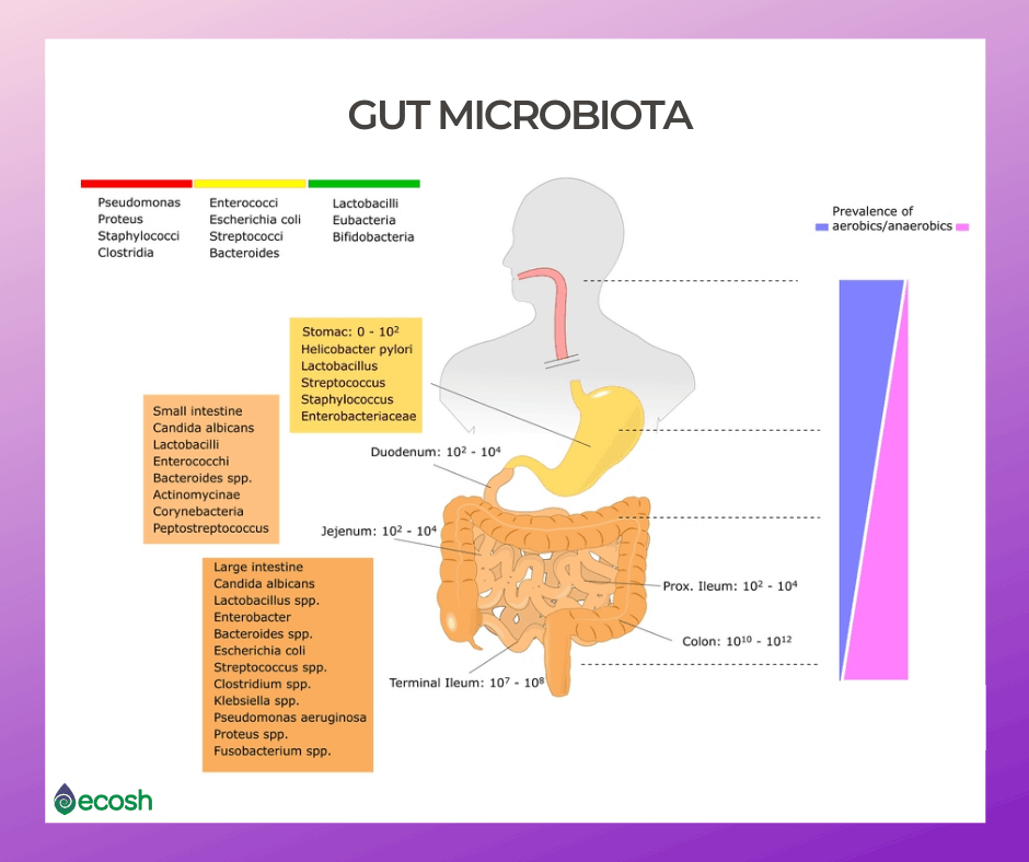 Healthy_gut_microbiota_good_bacteria_digestion_17 Types of Good Bacteria - The List of Most Beneficial Species of Probiotics Lactobacillus and Bifidobacteria
