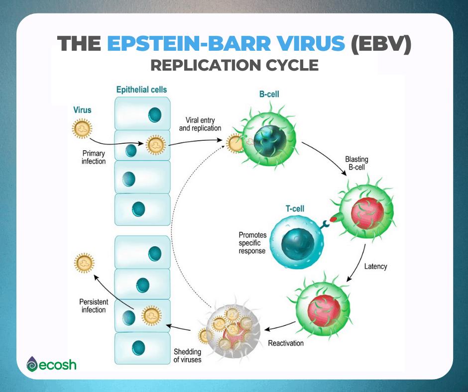 The_Epstein_Barr_Virus_Replication_Cycle_EBV_Symptoms_Mononucleosis_Treatment
